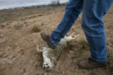 (DLM8358) -  Sheep rancher Ernie Etchart, 43, examines a dead coyote that he found on the side of...