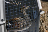 A duck waits in a cage for its release on private land in Henderson, Thursday morning, February...