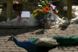 MJM328 A peacock wanders by at a makeshift memorial Sunday for a Zoo keeper, who was killed by a...