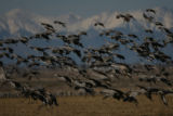 Hundreds of Sandhill Cranes take flight, Sunday afernoon, March 11, 2007, at the Monte Vista...