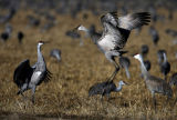 A pair of Sandhill Crane  performs a mating ritual dance Sunday afernoon, March 11, 2007, at the...