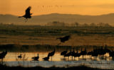 Two Sandhill Cranes come in for a landing while others roost in a pond at sunrise Monday, March...