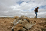 (DLM8347) -  Sheep rancher Ernie Etchart, 43, walks past a dead coyote that he found on the side...