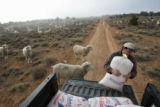 (DLM8390) -  Hundreds of sheep file behind Ernie Etchart, 43, as he dumps out a line of corn for...