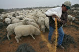 (DLM8539) -  Hundreds of sheep file behind Ernie Etchart, 43, as he dumps out a line of corn for...