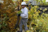 Pablo Sarinana, cq, of Davey tree service removes cut down and damaged limbs and branches, Friday...