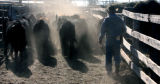 State Brand Inspector Eldon Crowder (cq) moves cattle out of the stockyard at the High Plains...