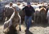 Larry Castor (cq) sorts cattle so they can have their brands checked at the High Plains Auction...