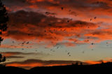 A flock of crows take to the ski at sunrise Thursday morning November 16, 2006 in Evergreen. The...