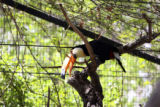 One of two Toco Toucans cleans his beak on a stick in their current Bird World exhibit. They will...