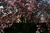The large blooming side lawn crabapple tree at 835 Niagara St. in Denver, Colo. on Friday April...