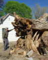 Bob Smith of Grand Junction examines a Cottonwood Tree at his house on G Rd Thursday that fell...