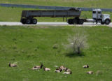 A herd of elk rest at the C470 and I-70 interchange in Jefferson County on Tuesday May 8,2007...