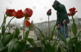 Chris Smith of Lakewood walks past tulips blooming in front of the Blue Cow Eatery in downtown...