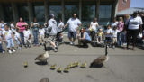 A family of geese including 8 adorable babies, made their way carefully through the attentive...