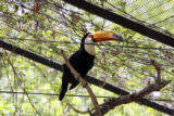 One of two Toco Toucans, (cq), in its present Bird World exhibit space will be moved to the new...