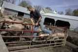 Iowa farmer Bill Salier (cq), jumps over a gate in one of the sow pens while he feeds them on his...