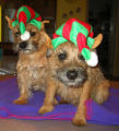 Holiday Pets. These are our two Border Terriers, Toomuch & Steve McQueen. Barb Bruce,...