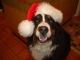 Holiday Pets. I hope you like this picture of Chester as much as I do. Kelley Matthews, 393 Ruby...