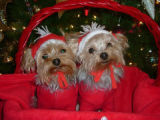 Holiday Pets.  here is a picture of our two mini-Yorkies Parker (left) 4 lbs --4 years old and...