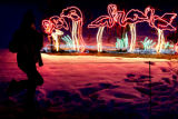 (DLM0192) -   A girl stands on one leg in front of the flamingo lights at the Zoo Lights display...