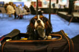 Tommy, a 7 month old Cavalier King Charles Spaniel waits for a press conference Monday morning...