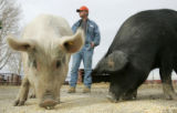 Eric, a resident at the Denver Rescue Mission's Harvest Farm in Wellington, CO tends hogs Monday...