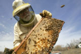 Bee keeper Tom Theobald (cq) inspects a frame of bees as he checks his hives for the first time...