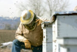 Bee keeper Tom Theobald (cq) checks his hives for the first time this spring at his bee yard in...