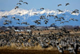 Hundreds of Sandhill Cranes land in a field, with the alone the Sangre De Cristo Mountains in the...