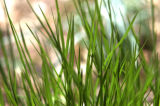 (DENVER, CO. 4/26/04)  GRASS at the Denver Botanic Gardens.  (ROCKY MOUNTAIN NEWS PHOTO BY JUDY...