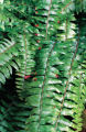 SH00C288HOUSEPLANTS March 20, 2000 - This Boston Fern can make a good house plant. (SHNS photo by...