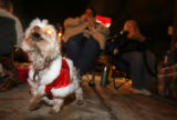 "(DLM2087) -   Wearing a Santa suit ""Jack"" a Yorkshire terrier barks at the floats as..."