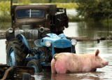 (Denver, Colo., August 19, 2004) A pig stands in floodwater on Cindy Grabrian's farm near 96th and...