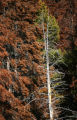 Brown stands of dead and dying pine trees are evidence of a pine beetle infestation that is...