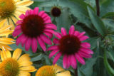 After Midnight (Echinacea x Big Sky 'Emily Saul') Perfect for smaller spaces and container...