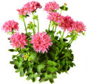Graffiti Double Salmon (Geraniums Vegetative). All three Graffiti Double varieties are very...