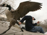 Myke Drelicharz (cq), 33, of Denver, tries to grab a goose that tried to steal a hunk of bread...