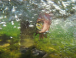 An angler revives and prepares to release a Bighorn River rainbow trout underwater. The river's...