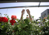 Carol McDaniel (cq) ties a price tag to one of the many hanging baskets as she and other staff...