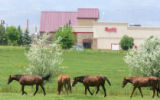 Horses walk in a field next to a retail development west of Windsor, Colo., on Thursday, May 24,...