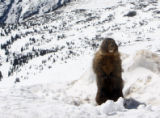 An adult Marmot stands near the Mt. Evans Road (Hwy 5) on Friday May 25,2007. The Mt. Evans Road...
