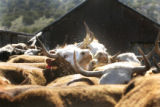 In the morning light cows separated from their calves are crowded together before given their...