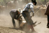 Kenneth Lewis and cousin Ryon Sallee (cq) have a roped calf brought down with dust flying at Muddy...