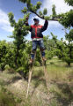 PHOTO BY CHRISTOPHER TOMLINSON--Roberto Ignacio Garcia-Oregon using stilts to thin peachs from...