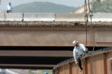 (GOLDEN COLO., May 18, 2004 )  A construction worker helps secure a 40 ton  girder to a truck at...