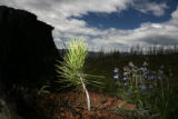 A Ponderosa pine seedling grows in the Hayman burn, Friday morning, June 1, 2007, west of West...
