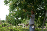 Hordiculturalist Mike Kintgen, cq, removes branches from a Buckeye tree to lighten up the canopy...