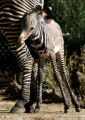 Keyo, a new born Grevy's zebra, hangs around his mom, Lindsay, Thursday morning, September 27,...