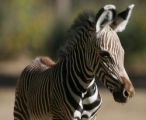 Keyo, a new born Grevy's zebra,enjoys a sunny day, Thursday morning, September 27, 2007, at the...
